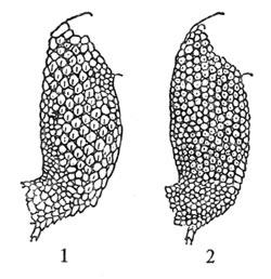 Верхняя сторона голени: — грузинской ящерицы, Lacerta rudis; — скальной ящерицы, Lacerta saxicola