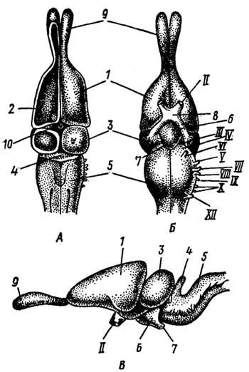 Головной мозг ящерицы
