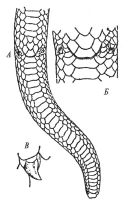 Хвост (А), клокальная область (Б) и рудимент задней конечности (В) самца западного удавчика, Eryx jaculus