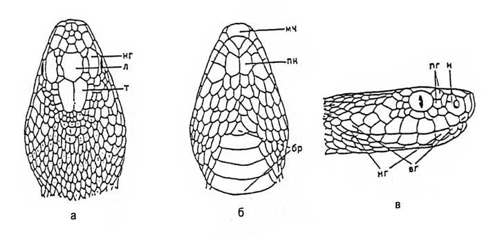 Чешуйчатый покров головы обыкновенной гадюки