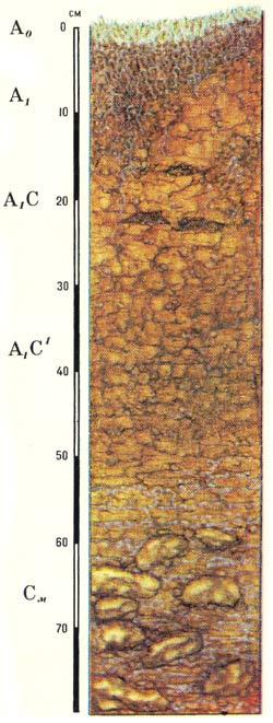 Профиль арктических типичных почв