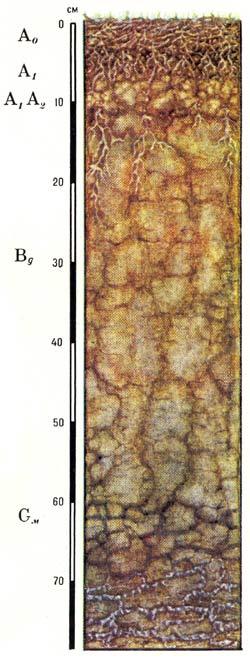 Профиль тундровых глеевых оподзоленных почв