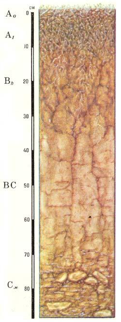 Профиль тундровых иллювиально-гумусовых почв