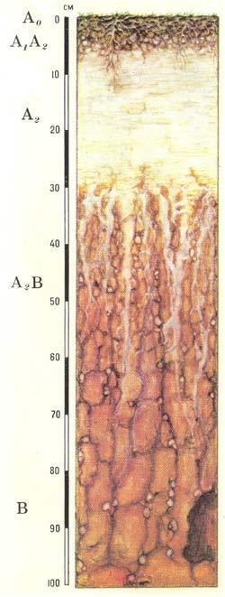 Профиль подзолистых почв