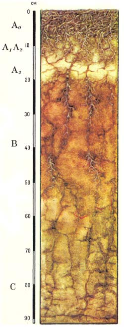Карликовые подзолистые почвы