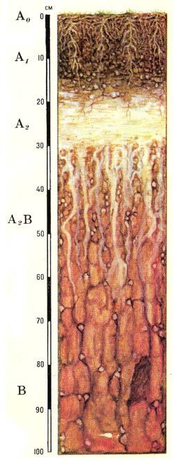 Профиль дерново-подзолистых почв