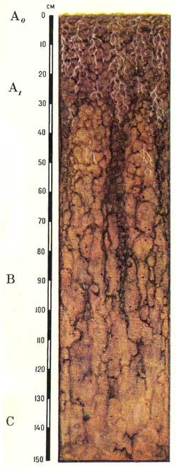 Профиль мерзлотных лугово-лесных типичных почв
