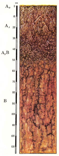 Профиль серых лесных почв