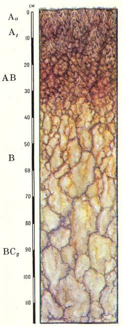 Профиль серых лесных грунтово-глееватых почв