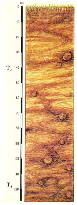 Профиль болотных верховых торфяных почв