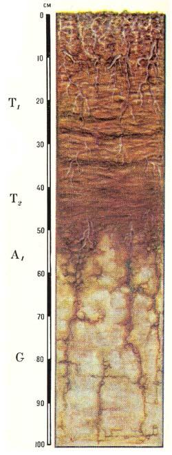 Профиль болотных низинных торфяно-глеевых почв