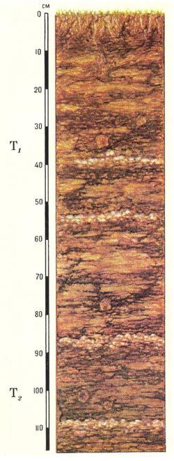 Профиль болотных низинных торфяных почв