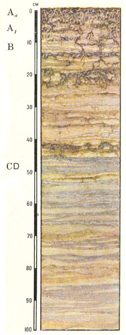 Профиль аллювиальных дерновых кислых слоистых почв