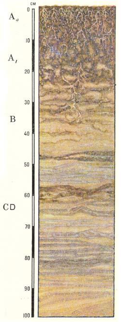Профиль собственно аллювиальных дерновых кислых почв