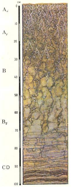 Профиль собственно аллювиальных луговых кислых почв