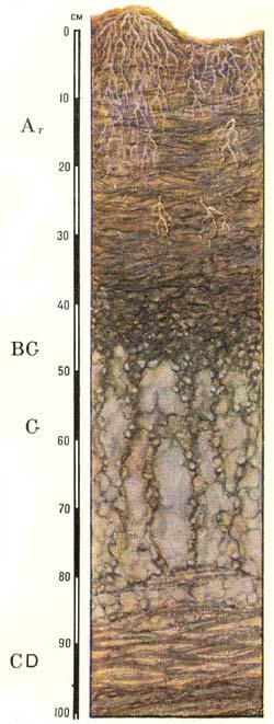 Профиль аллювиальных иловато-торфяно-глеевых почв