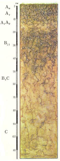Профиль бурых лесных слабоненасыщенных оподзоленных почв