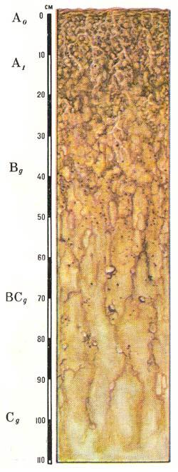 Профиль бурых лесных глеевых (грунтового и смешанного увлажнения) почв