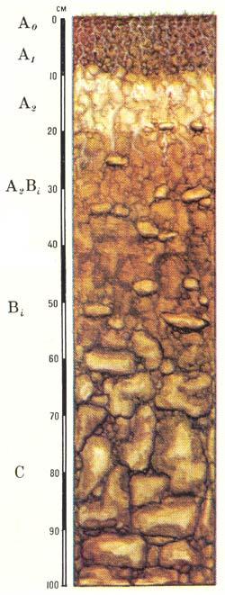 Профиль подзолисто-бурых лесных слабоненасыщенных почв (Кавказ)