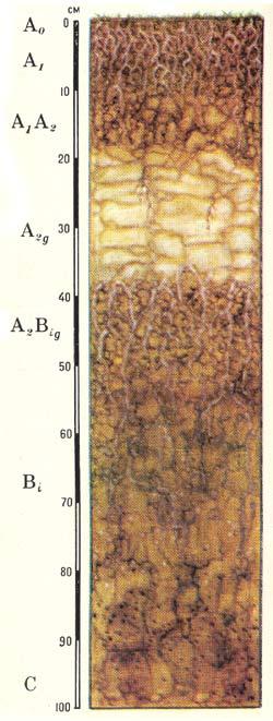 Профиль подзолисто-бурых лесных слабоненасыщенных почв (Дальний Восток)