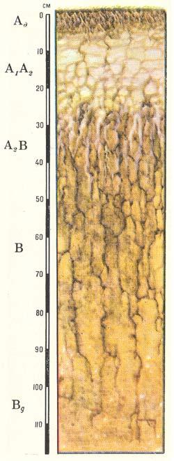 Профиль солодей лугово-степных (дерново-глееватых)
