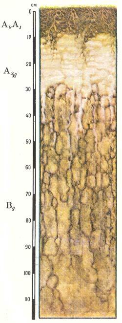 Профиль солодей лугово-болотных