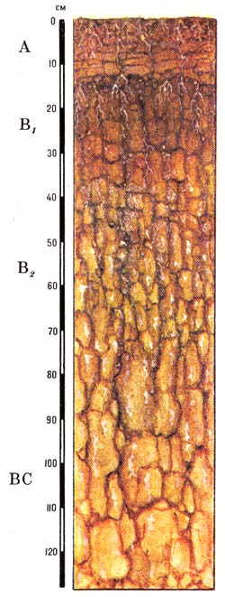 Профиль солонцов каштановых