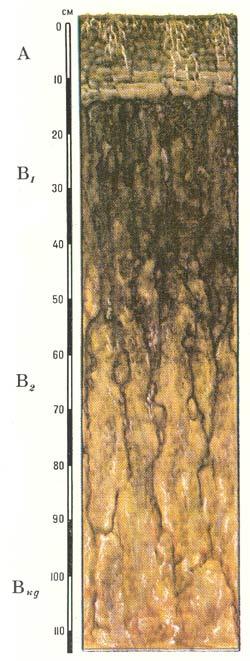 Профиль солонцов лугово-черноземных