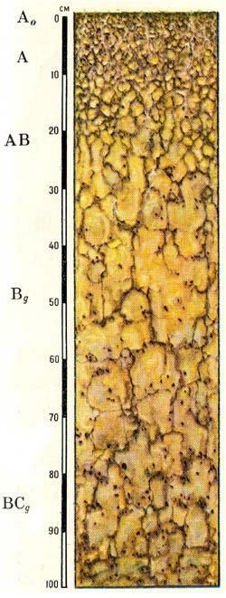 Профиль желтоземов глееватых