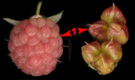 Малина обыкновенная и Пузыреплодник калинолистный