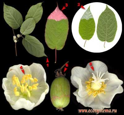 Актинидия амурская, или коломикта — Actinidia kolomikta (Maxim.) Maxim.