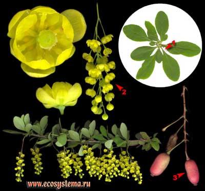 Барбарис обыкновенный — Berberis vulgaris L.