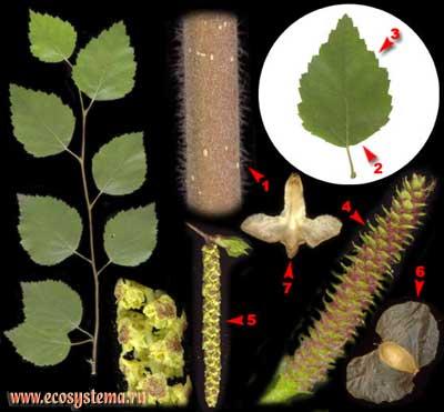 Берёза пушистая — Betula pubescens Ehrh.