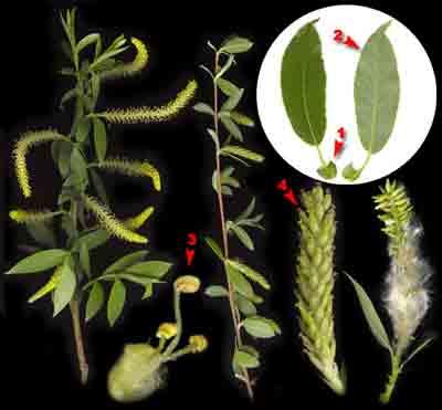 Ива трехтычинковая, или белолоз, белотал, лоза — Salix triandra L.