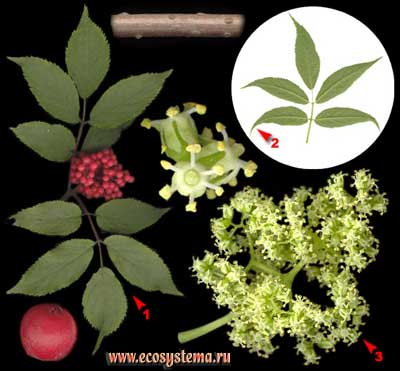 Бузина обыкновенная, или красная — Sambucus racemosa L.