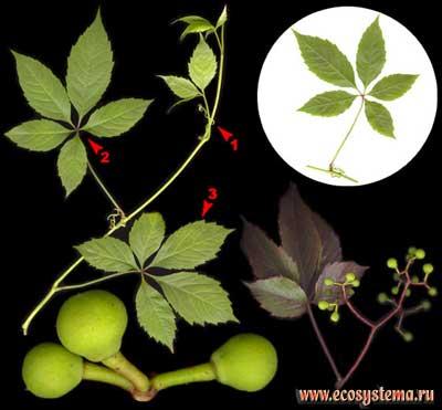 Девичий виноград пятилисточковый — Parthenocissus quinquefolia (L.) Planch.