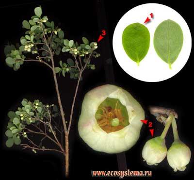 Голубика — Vaccinium uliginosum L.
