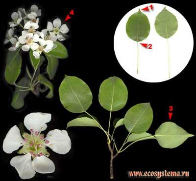 Груша обыкновенная — Pyrus communis L.