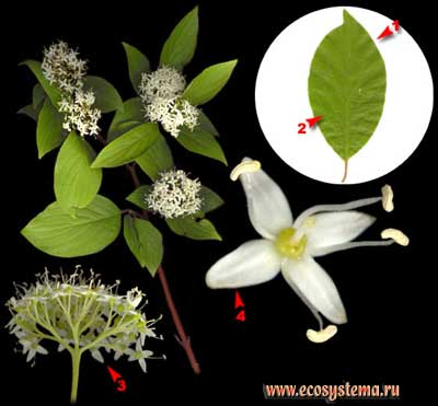 Дёрен белый, или свидина белая, или серебристая — Swida alba (L.) Opiz (Thelycrania alba (L.) Pojark.)
