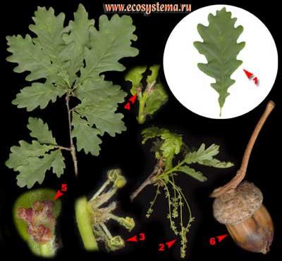 Дуб черешчатый, или летний — Quercus robur L. (Q. pedunculata Ehrh.)