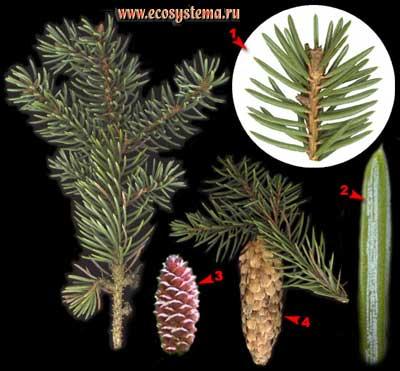 Ель колючая, или голубая — Picea pungens Engelm.