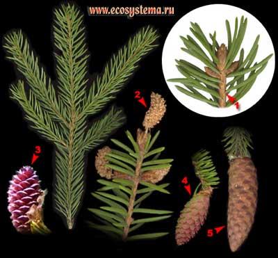 Ель европейская, или обыкновенная — Picea abies (L.) Karst. (P. excelsa (Lam.) Link)