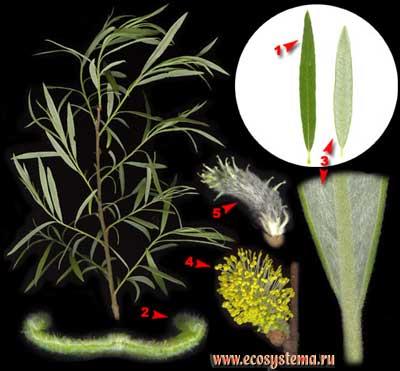 Ива корзиночная — Salix viminalis L. (S. gmelinii Pall.)