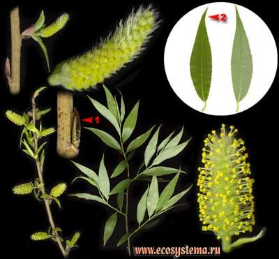 Ива ломкая, или ракита — Salix fragilis L.