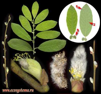 Ива ушастая — Salix aurita L.