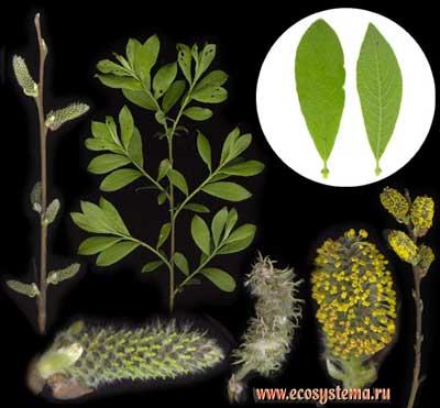 Ива мирзинолистная, или чернеющая — Salix myrsinifolia Salisb. (S. nigricans Smith)