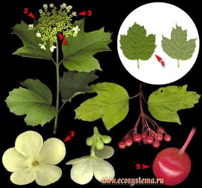 Калина обыкновенная, или красная — Viburnum opulus L.