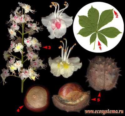 Конский каштан обыкновенный — Aesculus hippocastanum L.