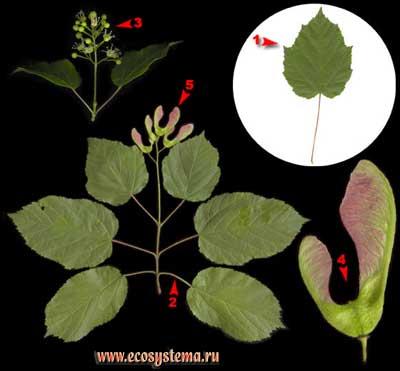 Клён татарский, или черноклён — Acer tataricum L.