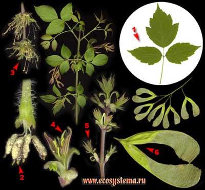 Клён ясенелистный — Acer negundo L.